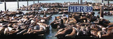 The California Sea Lions at Pier 39